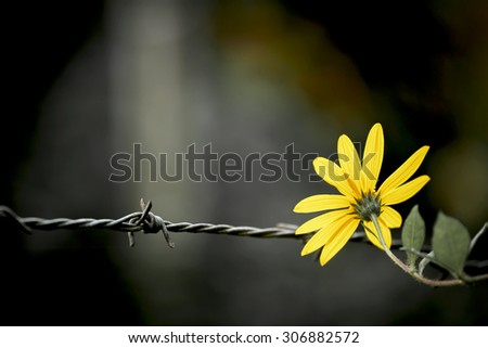 Vintage style Yellow Flower on the barbed wire - stock photo