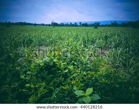 Vintage sugar cane farmland with blurry background.  - stock photo