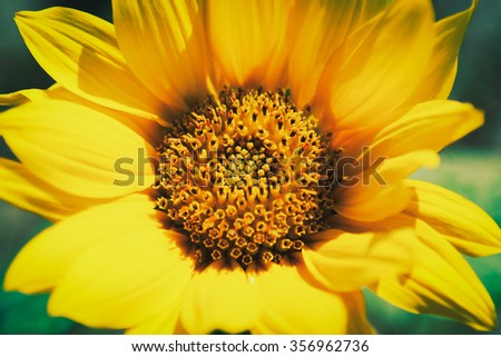 Vintage sunflower close up - stock photo