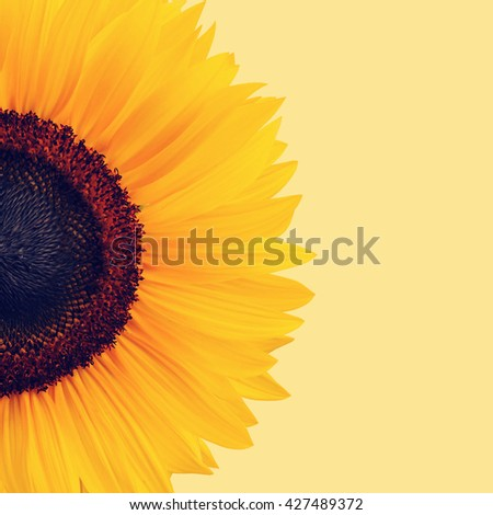 Vintage sunflower picture. - stock photo