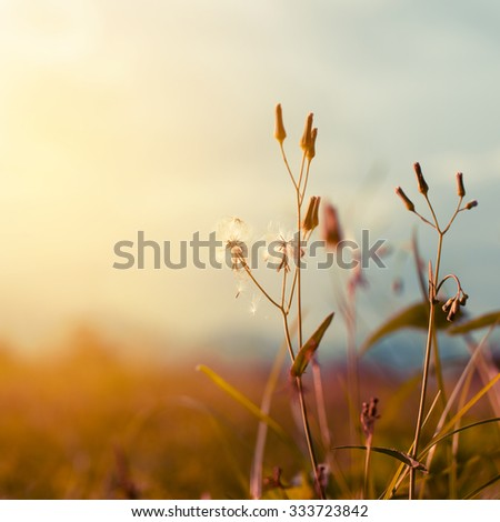 Vintage wild flower in sunset, retro  filter effect, selective focus point, shallow depth of field