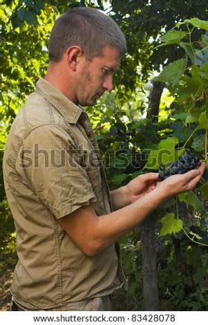 Vintner or grape grower inspecting the grape harvest - stock photo