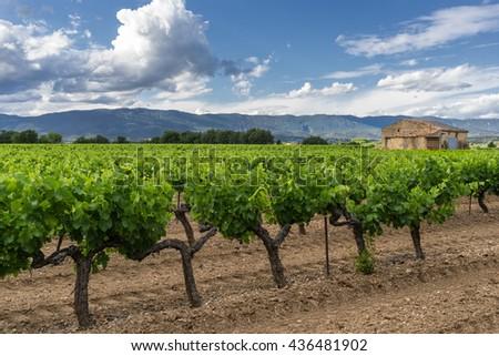 Vinyard in the Luberon Provence  - stock photo