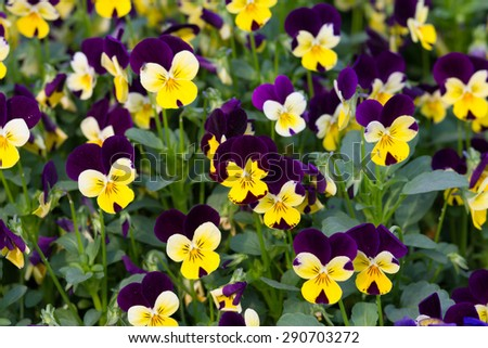 Viola and yellow  tricolor pansy, flower bed bloom in the garden. - stock photo