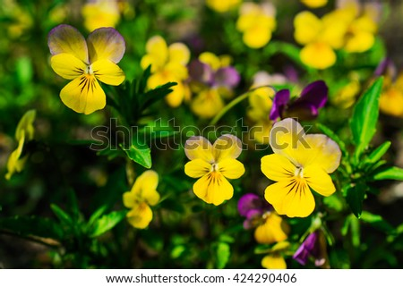 viola and yellow tricolor pansy, flower bed bloom in the garden in spring - stock photo
