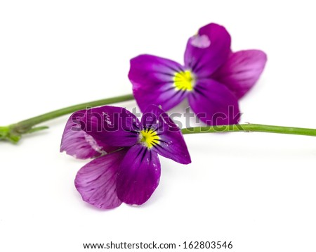 Viola cornuta (horned violet), isolated on white - stock photo