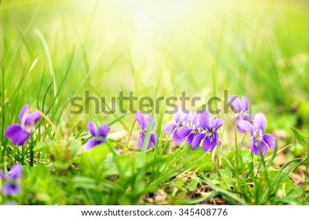 Viola odorata (Sweet Violet, English Violet, Common Violet, or Garden Violet) blooming in spring close-up. Nature background with sun flare. - stock photo