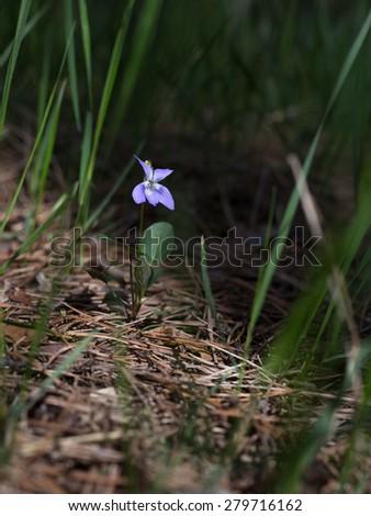 Viola odorata (Sweet Violet, English Violet, Common Violet, Wood Violet or Garden Violet) blooming in spring close-up. Nature background.  - stock photo