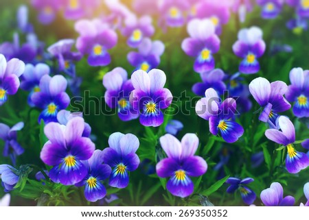 Viola or pansy flowers in a garden - stock photo