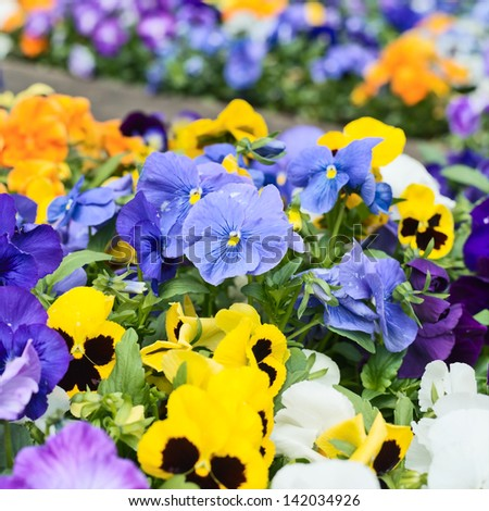 Viola pansy flower composition close-up shot as a nature background - stock photo