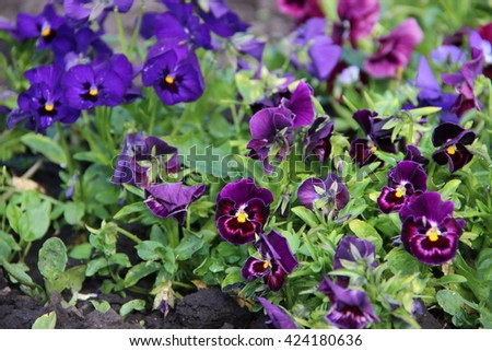 Violas or Pansies in a Garden - stock photo