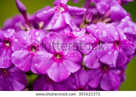 violet and white phlox - stock photo