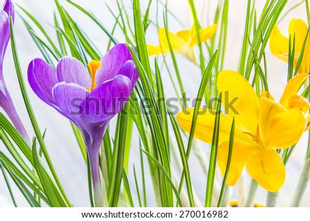 Violet and yellow crocus close up, backlit - stock photo