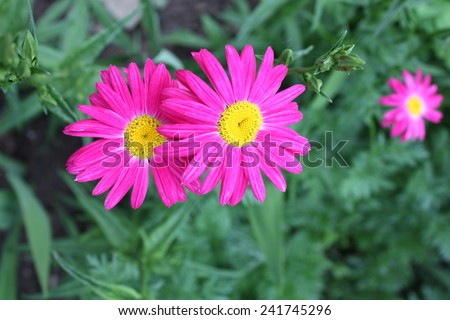 Violet asters flowers has elegant and attractive green glossy foliage, shines bright in the springtime with rain drop. Bouquet of asters close-up, soft focus. Flower background - stock photo