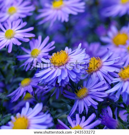 Violet asters flowers over bright background - stock photo