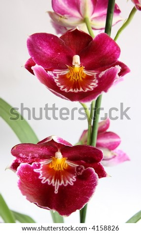 violet beautiful miltonopsis orchid isolated on white background - stock photo