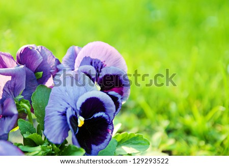 Violet beautiful pansy flowering in spring time with green grass copy space - stock photo
