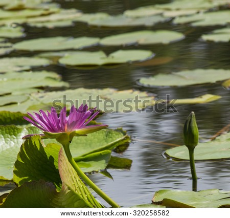 Violet blooming water lily in pond. - stock photo