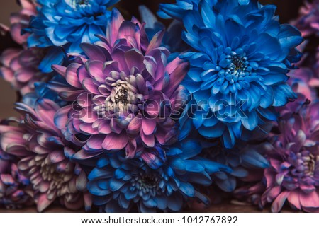 Violet, blue and pink chrysanthemum. A bouquet of chrysanthemums. Chrysanthemum Flower Close up