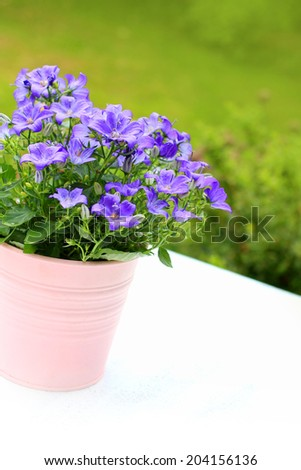 Violet campanula flowers close up - stock photo