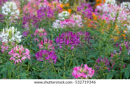 Violet cleome hassleriana blooming. Spider flower, spider plant or pink queen in garden.