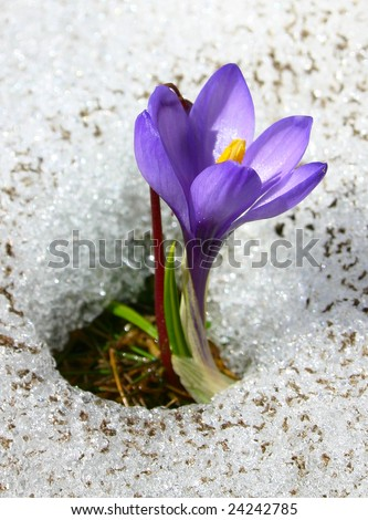 Violet crocus growing in the snow - stock photo