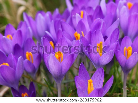 Violet crocus is one of the first spring flowers can use as background - stock photo