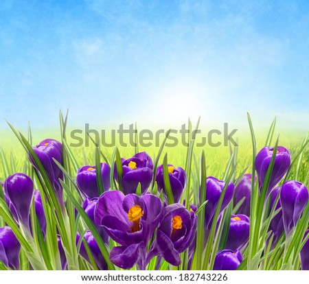 Violet crocus Isolated on sky background