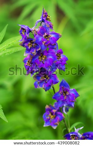 Violet delphinium growing outdoors over green blurry background - stock photo