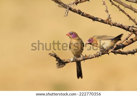 Violet-eared Waxbill - African Wild Bird Background - Beautiful Colors and Feathers from Nature - stock photo