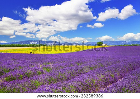 violet fields of blooming lavande in Provence, France - stock photo