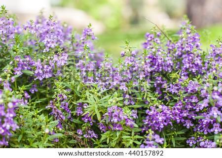 violet flower in the garden, flower stock, violet flower - stock photo