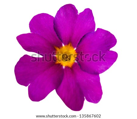 violet, flower isolated on white background - stock photo