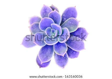 Violet flowering cactus on white background - stock photo