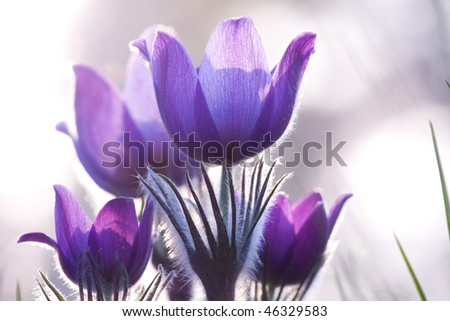 Violet flowers on the backlight