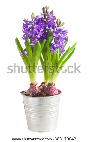 violet fresh hyacinth blooming flowers in pot isolated on white background - stock photo