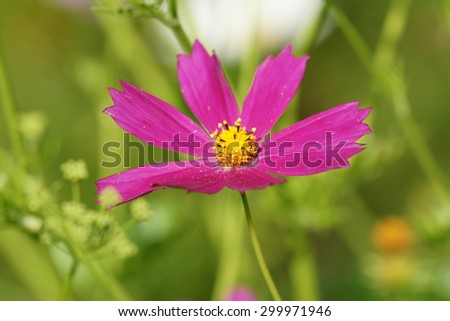 Violet garden cosmos or Mexican aster flower in close with green background - stock photo