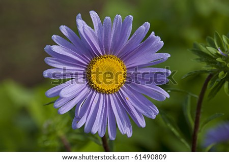 violet gerbera in full blossom against green with shallow depth of field. focus on flower's center. dew on the flowers leafs. - stock photo
