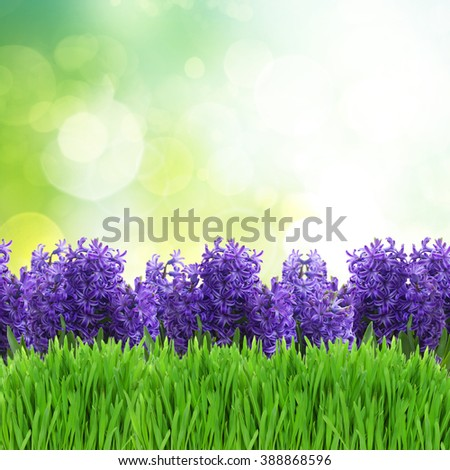 violet hyacinth blooming flowers border over green garden background - stock photo