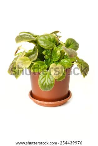 Violet isolated on white background - stock photo