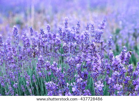 Violet lavender as aromatic herbs background. Lavender flowers blossom on the field in summertime. Nature background with lavender in the garden, soft light effect.  - stock photo