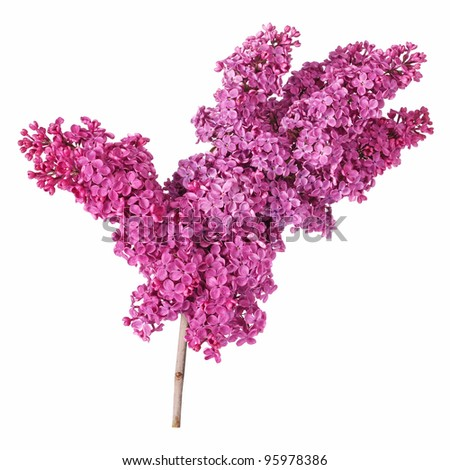 Violet lilac flower isolated on white background - stock photo