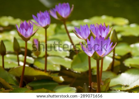 Violet lotus blooming in the pond. - stock photo