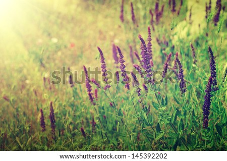 Violet meadow flower with sun rays, floral background - stock photo