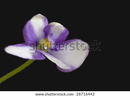 violet on black - stock photo