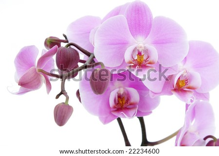 Violet orchid blossom close-up isolated on white background