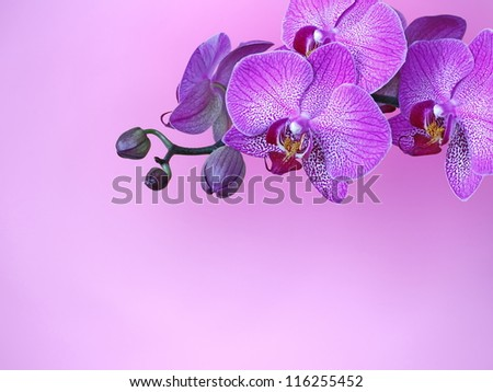 Violet orchid branch, pink background - stock photo