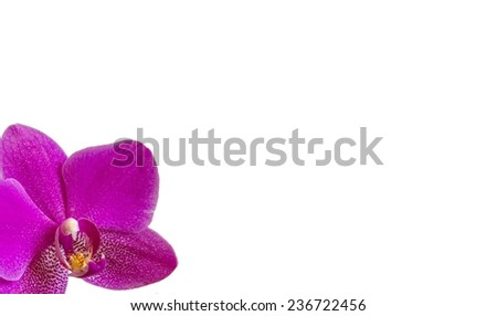 Violet Orchid Flower on white background with copy-space - stock photo