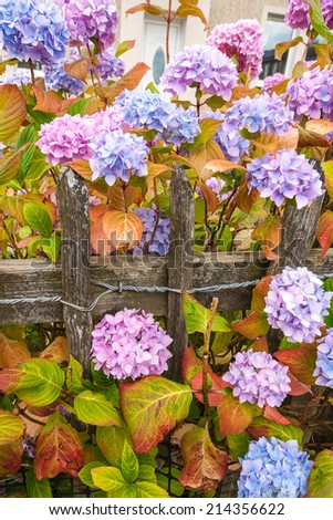 Violet, pink and blue hydrangea blossom with old wooden fence