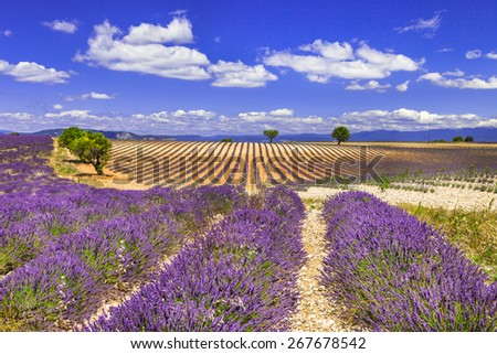 violet rows of blooming lavander in Provence - stock photo